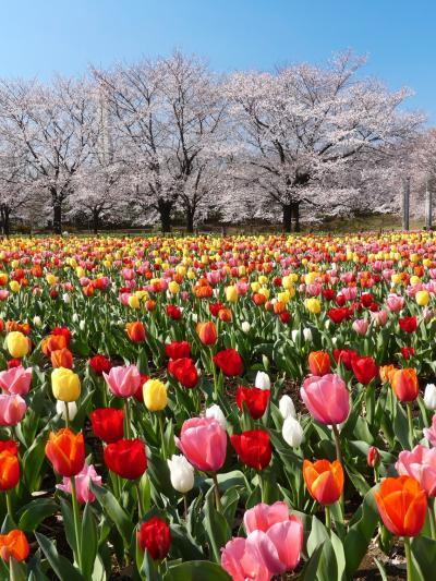 「深谷グリーンパーク」は休館ですが、休園ではありません_2020_サクラは5分先、チューリップは見頃です。(埼玉県・深谷市)