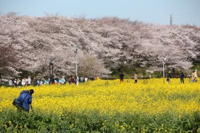 権現堂の桜堤