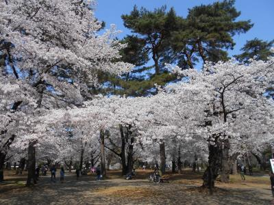 大宮公園で一人花見