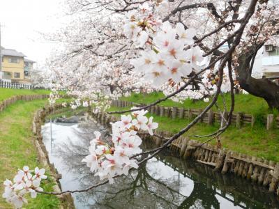 川越氷川神社下の桜