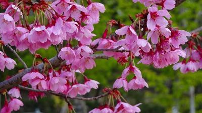 たんたん小道に桜花を探して その5。
