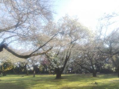新宿御苑 開花宣言が出てすぐ🌸