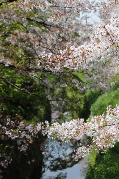 緊急事態宣言前のお花見②京都