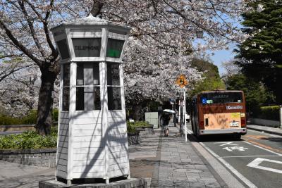 横浜元町公園の桜散策2020~満開になった染井吉野と横浜緋桜~(横浜)