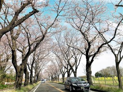 横浜海軍道路の桜並木