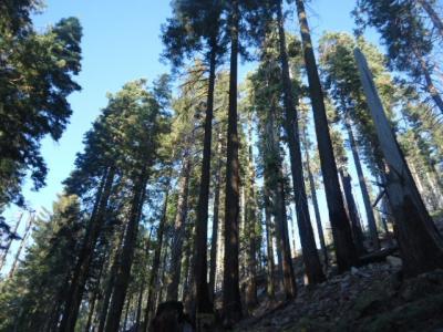 カリフォルニア州 ヨセミテ国立公園 - マリポサ グローブ
