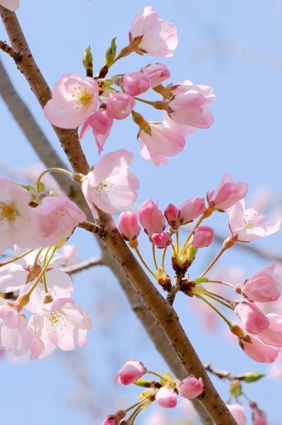 咲き始めの桜が見たくて近場の万博公園へ...