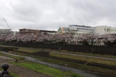 ようやく満開となった柏尾川の桜-2020年