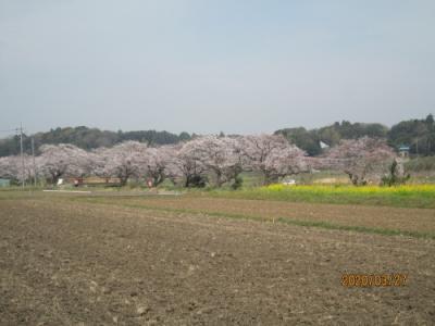 柏市の今井・染井吉野・満開・八重桜・2020年