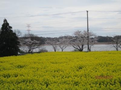 我孫子市の手賀沼湖畔・染井吉野と菜の花