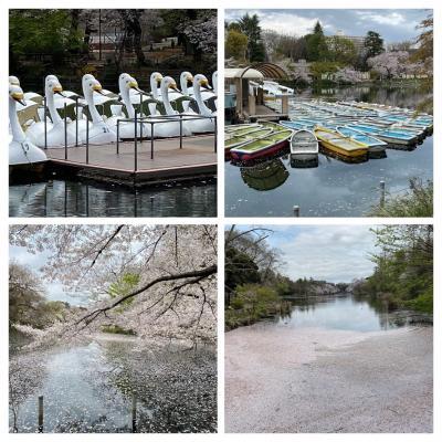 2020/3月末 新型コロナ肺炎で外出自粛時の井の頭公園 満開の桜と雪景色