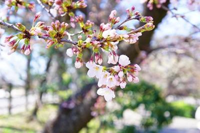 岡崎市の桜城橋と気になる桜