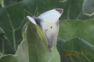 森のさんぽ道で見られた蝶⑥キタテハ、モンシロチョウ、キチョウ