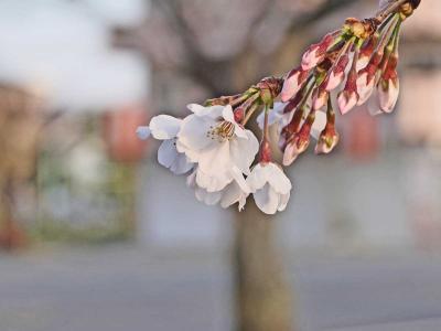 ドライブ・2020.03.26 =小潤井川の桜が咲き始めました=
