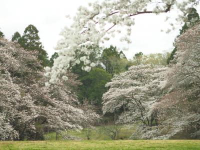 静かに桜を見る 泉自然公園