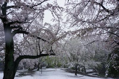 3月、雪の中で咲くサクラ、桜