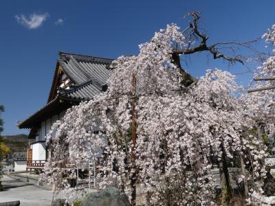 「西光院」のシダレザクラ_2020_3月23日:見頃ですが、散り始めています。(栃木県・佐野市)