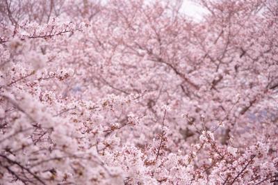 恒例の桜を愛でる。桜のトンネルはもう少しで満開です@2020