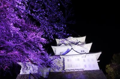 ちょこっと桜と小田原城ライトアップ