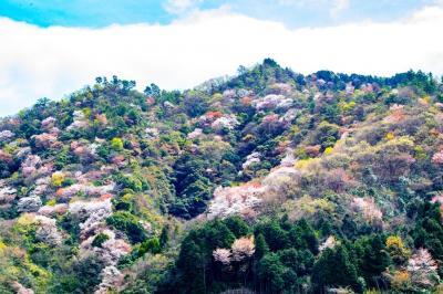 大分市の山桜 2020