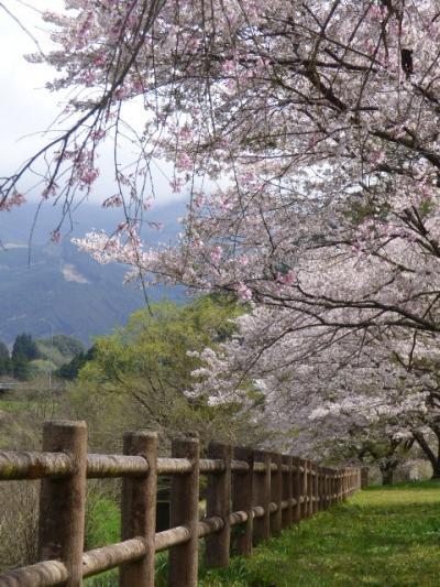 こんなにすごい桜の名所があるなんて、知ってました?