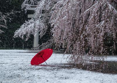 桜隠しの日を楽しむ(1) ~宇都宮森林公園&護国神社の桜と雪~