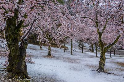 桜隠しの日を楽しむ(2) ~八幡山公園の桜と雪~