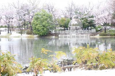 雪上がりの散り始めの満開の桜散策~雪がやんだあとはあっという間に溶け始めた春の幻想