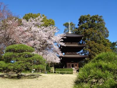 【目白】桜の季節