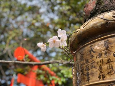 春休みの孫二人と2日間続けて紅葉山で花見と桜撮影をしました。