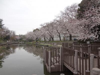 横浜東横線沿線 桜満開2020年