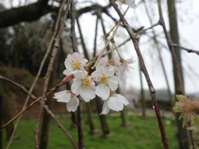 「奥山田のしだれ桜」を見て来ました。とても立派な枝垂桜です。