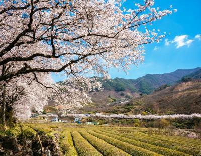 今年韓国旅行を断念した方に!慶尚南道の春をお届け♡