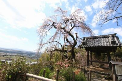 地蔵禅院しだれ桜2020