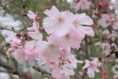 葉桜前の美しい冬桜