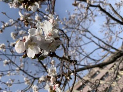 秋田市の桜咲く