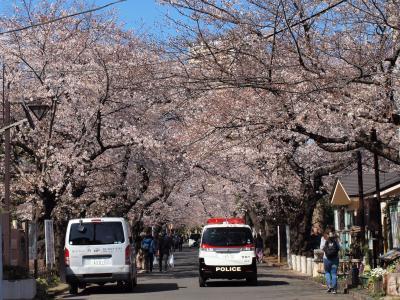 お花見はご近所で♪―谷中霊園と天王寺―