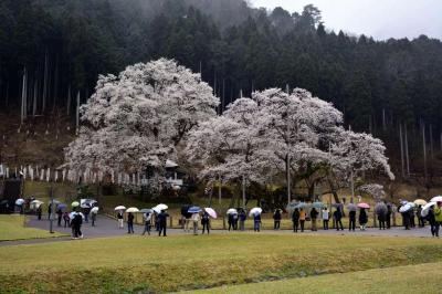 薄墨桜を見に行きました!