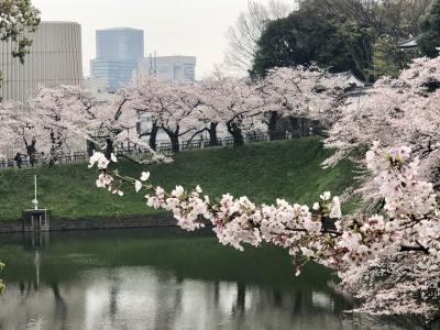 [速報] 千鳥ヶ淵と日比谷公園の桜