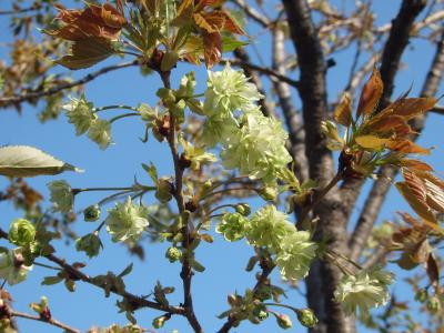 新宿御苑(3)にソメイヨシノの後に咲く桜を見に行きました