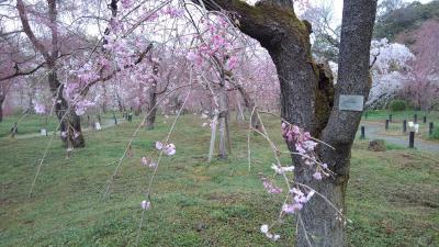 京都植物園の四季-その2(桜)