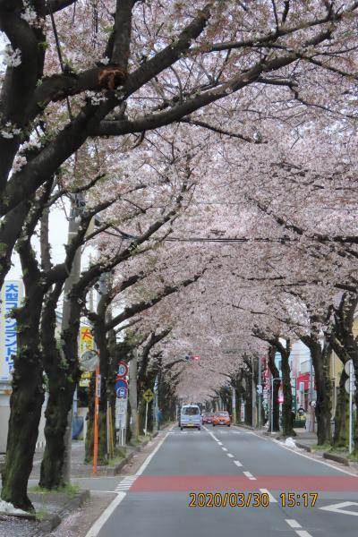 桜通りの桜のトンネルその後