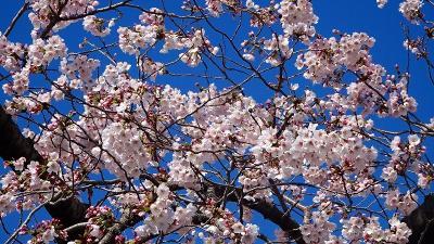 瑞ヶ池公園へ桜の開花状況を見に行きました その1。
