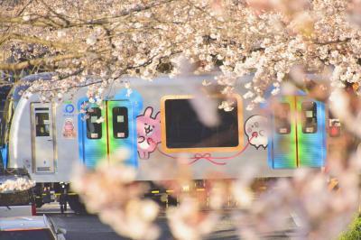 西武新宿線沿線に咲き広がる満開な桜の風景を探しに訪れてみた
