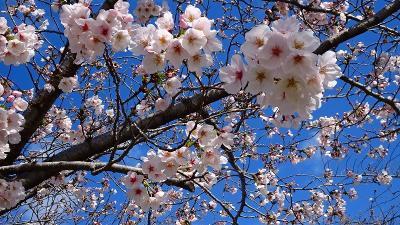 瑞ヶ池公園へ桜の開花状況を見に行きました その2。