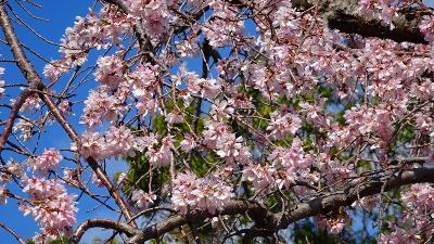 瑞ヶ池公園へ桜の開花状況を見に行きました その3。