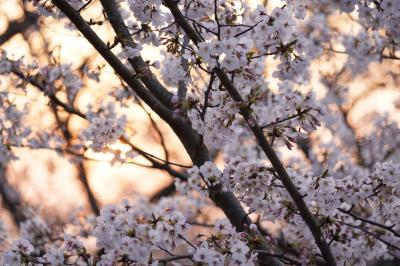 20200401-2 長崎 夕暮れ時の風頭公園で、ほとんど貸切なお花見を