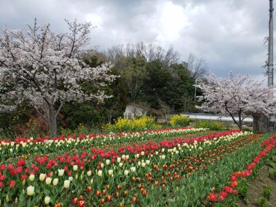 コロナ対策で車中からの花見(高田千本桜・佐保川・平常宮跡)&母と近所の桜とチューリップを見にお散歩♪