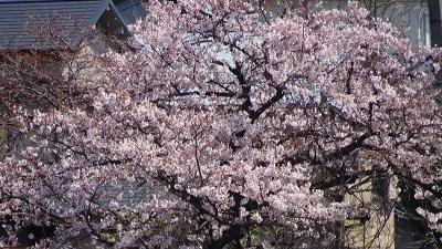 瑞ヶ池公園へ桜の開花状況を見に行きました その4。