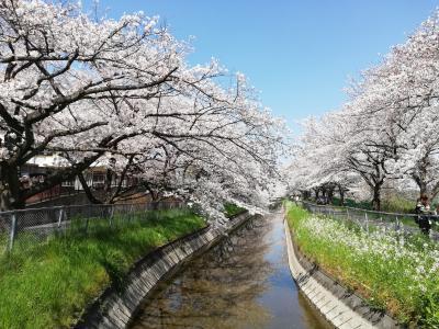 2020年 いつもと違う春 桜が満開なのに・・・ 危機に瀕する日常